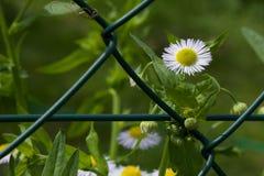 Daisy blossom behind the net Royalty Free Stock Photography