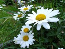 Daisy blossom close up, white flowers in garden Stock Photos