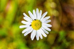 Daisy blossom. With little insects on it Royalty Free Stock Image