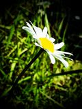 Daisy. Blowing in the wind (filter added Royalty Free Stock Photo