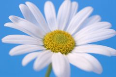 Daisy on blue. Background royalty free stock photography