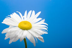Daisy on blue background Royalty Free Stock Images
