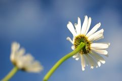 Daisy, Blue, Flower, Bloom Royalty Free Stock Photo