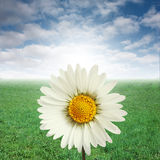 Daisy and blue sky Stock Images