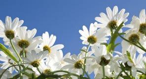 Daisy, blue sky. Royalty Free Stock Image