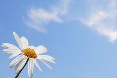 Daisy on blue sky Stock Photos