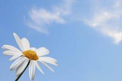 Daisy on blue sky stock photos