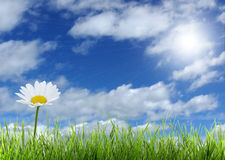 Daisy and blue sky. A daisy and green green grass over a blue sky stock image