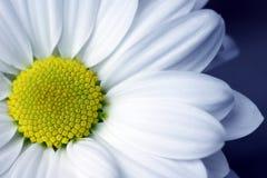 Daisy blue tone Royalty Free Stock Photo