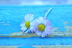 Daisy on blue Stock Image