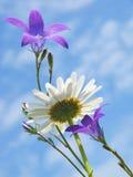 Daisy and bluebells Stock Photos