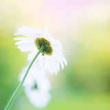 Daisy. Blurred flowers background Stock Images