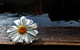 Daisy on the boardwalk. Daisie wildflower caught near ketchikan and photographed. Daisies represents purity and innocence Royalty Free Stock Image