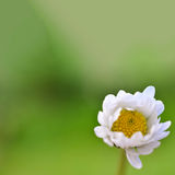 Daisy bokeh Stock Photography