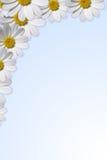 Daisy border Stock Image