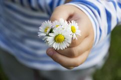 Daisy bouqet in child hand. Little girl holding and giving a white daisy bouqet royalty free stock photography