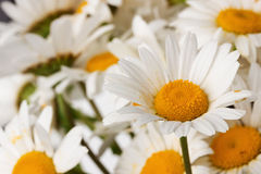 Daisy bouquet on the white background.  Royalty Free Stock Image