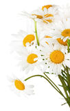 Daisy bouquet on the white background Royalty Free Stock Images