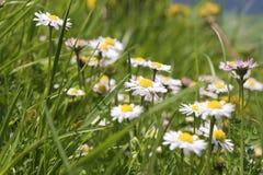 Daisy Breitenstein Bavaria Alps Royalty Free Stock Photo