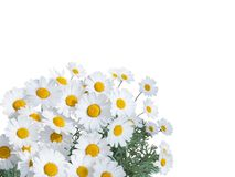 Daisy bright flowers isolated on white. Daisy white yellow flowers floral corner isolated on white royalty free stock images