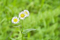 Fleabane in a Bright Green Field Stock Images