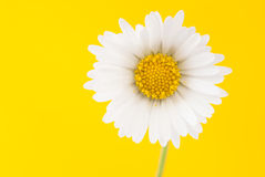 Daisy on a bright yellow background Stock Image