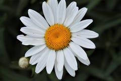 Daisy and bud. White Shasta Daisy and bud closeup singular flower Stock Photos