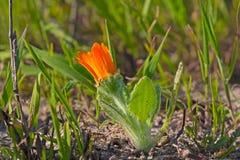 Daisy Budding arancio in primavera Fotografia Stock