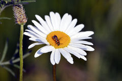 Daisy With Bug Royalty Free Stock Photo
