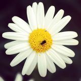 Daisy with bug Stock Images