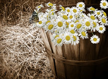 Daisy Bunch Royalty Free Stock Photo