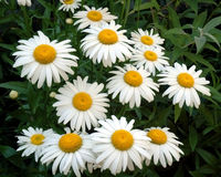 Daisy Bunch Royalty Free Stock Image
