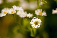 Daisy. A bundle of daisy flowers royalty free stock photography