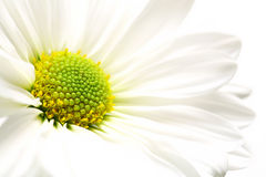 Daisy burst. White daisy highkey macro over white, shallow depth of field Royalty Free Stock Images