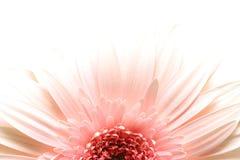 Daisy burst highkey. Pink daisy macro in highkey over white, limited depth of field stock images