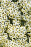 Daisy Bush Background Texture Royalty Free Stock Photo