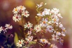 Daisy bush. Royalty Free Stock Image