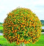 Daisy bush. The bush of orange daisy Stock Photo
