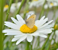 Daisy and a butterfly. Close up of big daisy with a butterfly Royalty Free Stock Images
