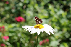 Daisy with butterfly Stock Photography