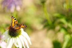 Daisy with butterfly. stock photography
