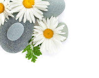 Daisy camomile flower and sea stones Royalty Free Stock Image