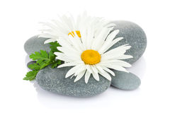 Daisy camomile flower and sea stones Stock Images