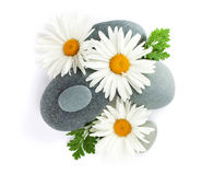 Daisy camomile flower and sea stones Royalty Free Stock Photo