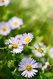 Daisy or Camomile Flowers on Green Grass. Summer Sunlight Scene: Daisy or Chamomile Flowers on Green Grass Background Stock Photos
