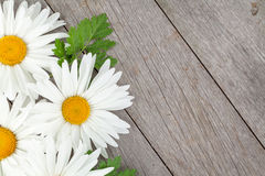 Daisy camomile flowers on wooden background Stock Image