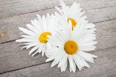 Daisy camomile flowers Royalty Free Stock Image