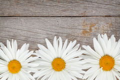 Daisy camomile flowers Royalty Free Stock Photos