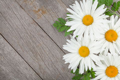 Daisy camomile flowers Stock Photos