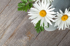 Daisy camomile flowers Royalty Free Stock Images